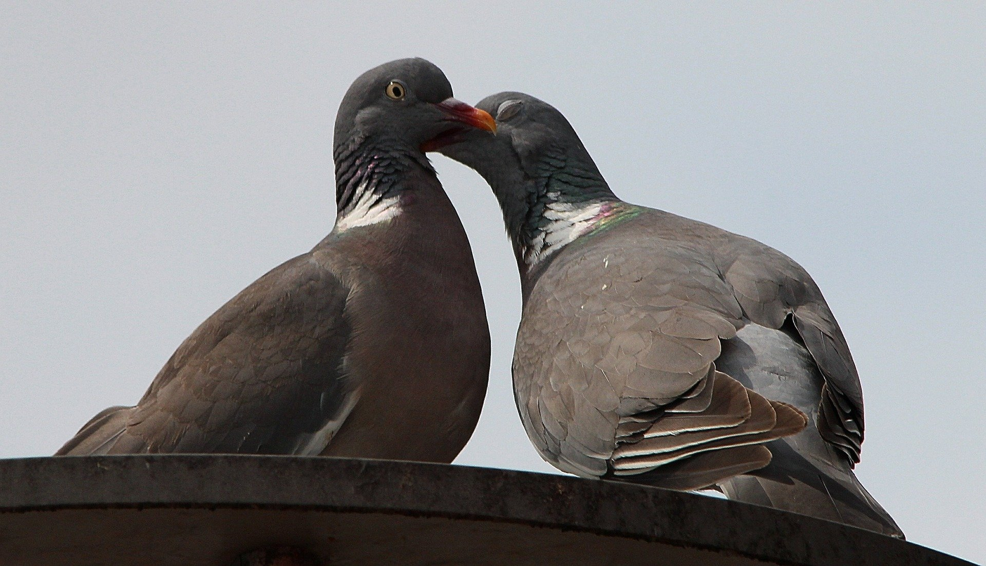 Pigeons. Click to see more of Adorable Animal Pictures for Valentine's Day | Animals Zone