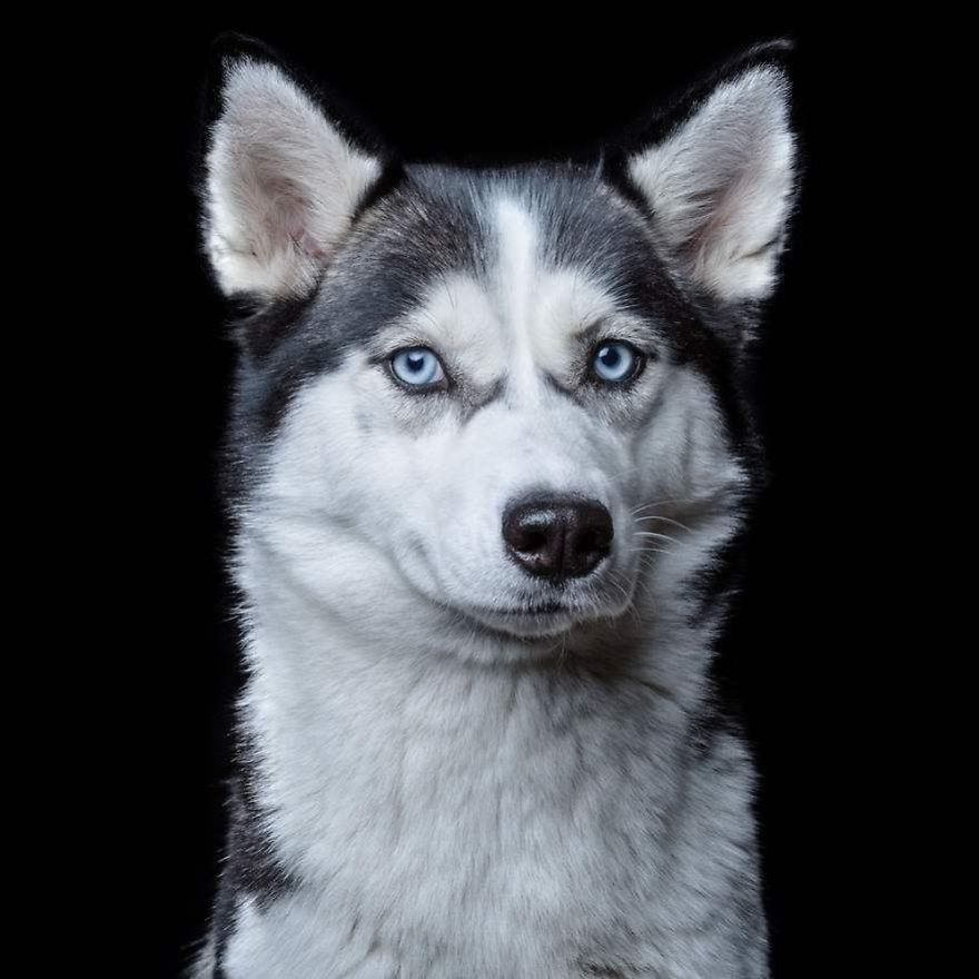 Husky. Animal Portraits by Robert Bahou. Click to read the full story. | Animals Zone