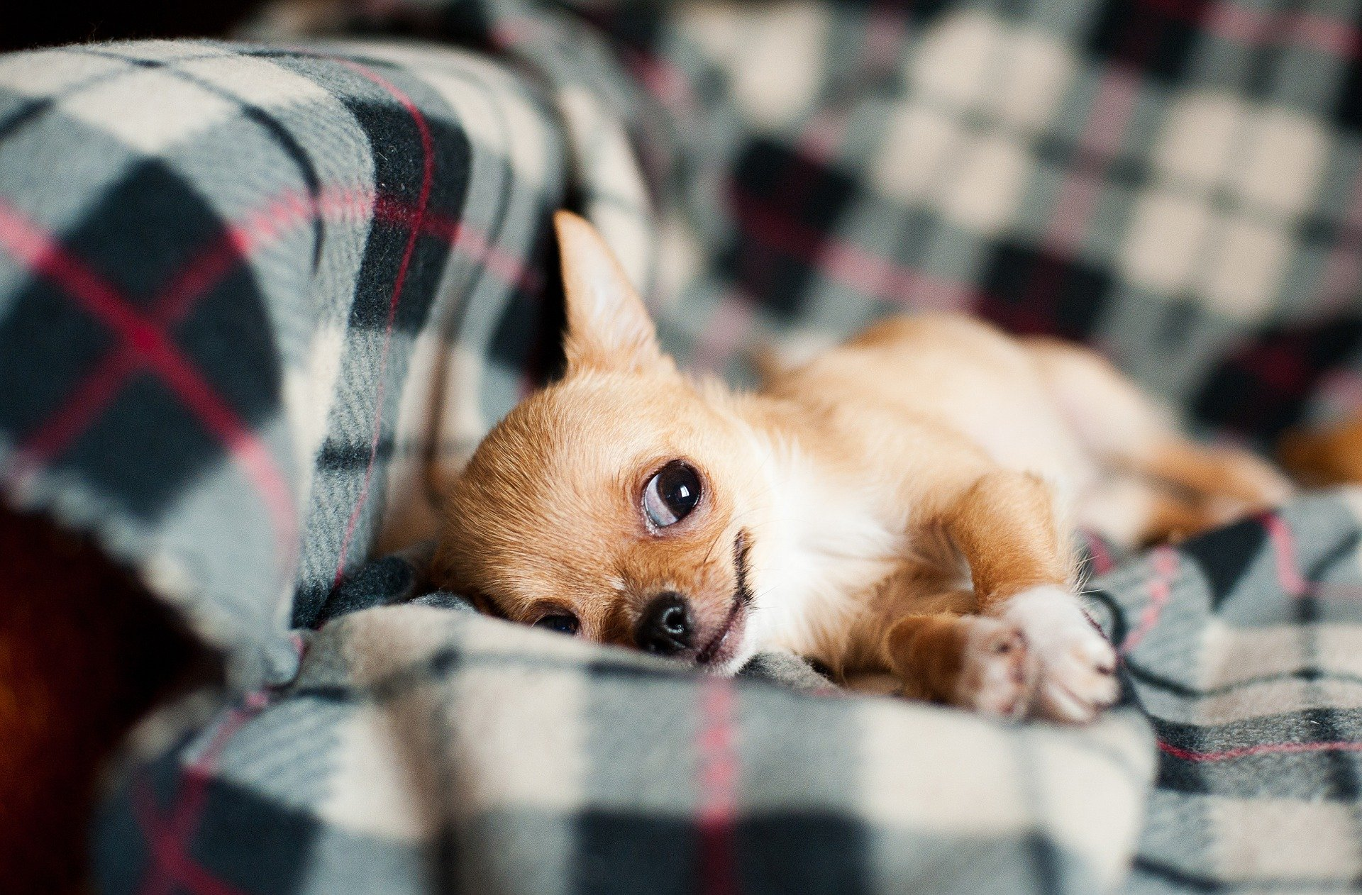 Chihuahua puppy. Happy National Puppy Day! Click for more adorable photos! | Animals Zone
