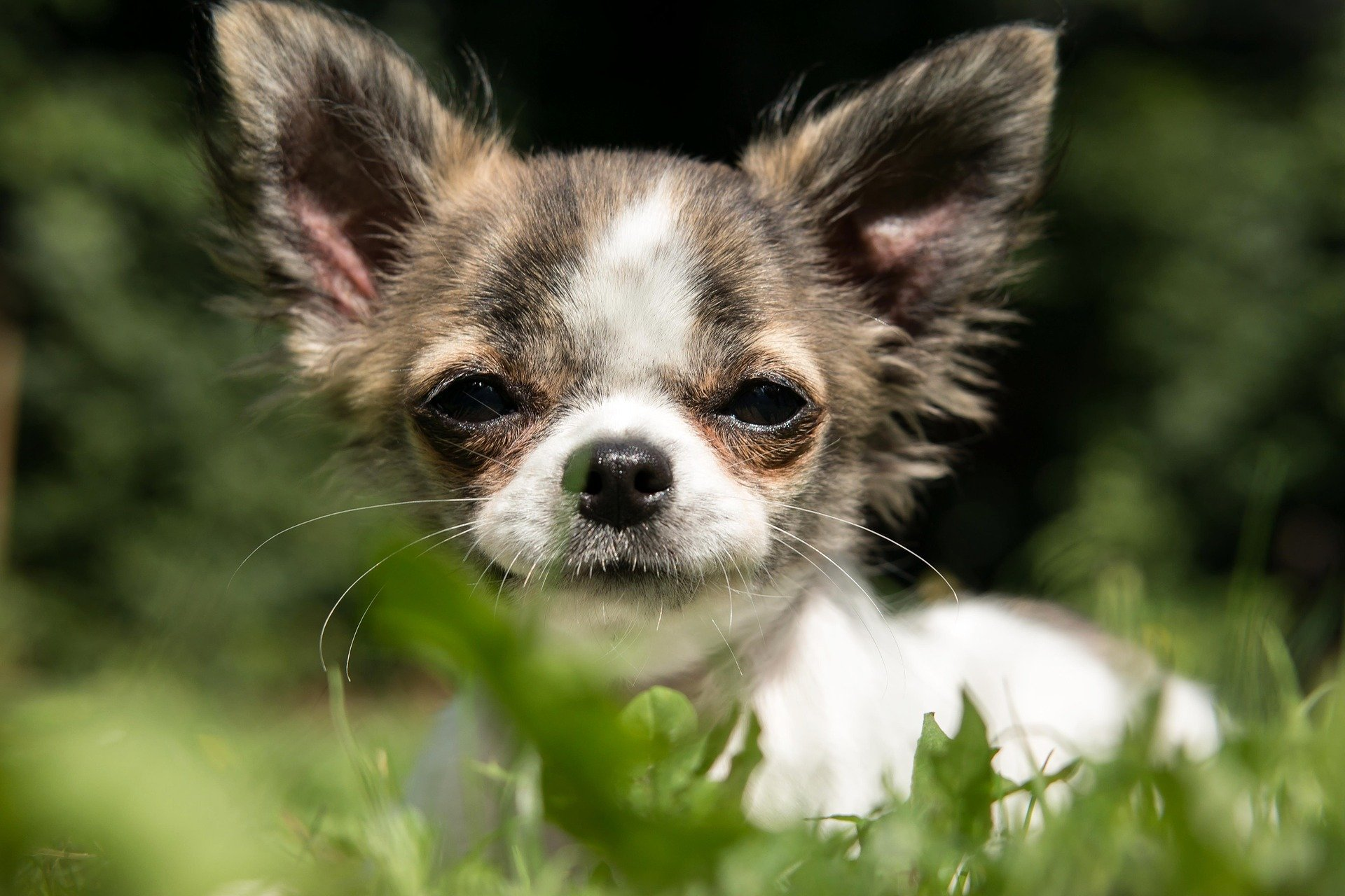 Chihuahua. Happy National Puppy Day! Click for more adorable photos! | Animals Zone