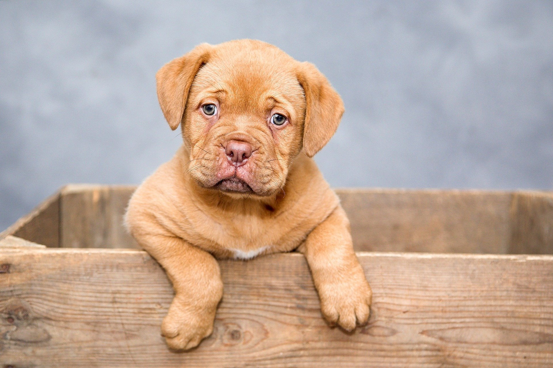 Bordeaux puppy. Happy National Puppy Day! Click for more adorable photos!   Animals Zone