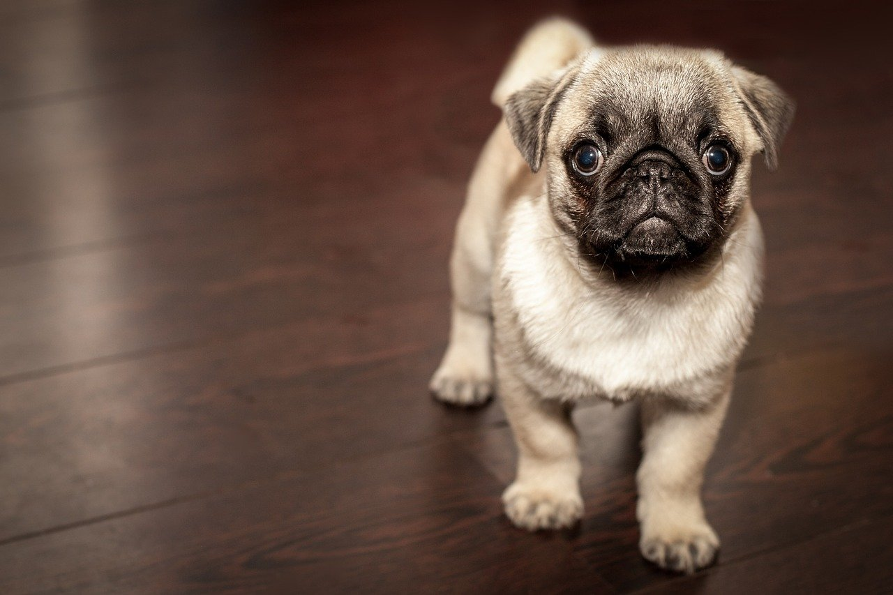 Pug. Happy National Puppy Day! Click for more adorable photos!   Animals Zone