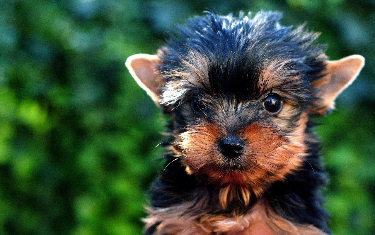 Yorkie. Happy National Puppy Day! Click for more adorable photos! | Animals Zone