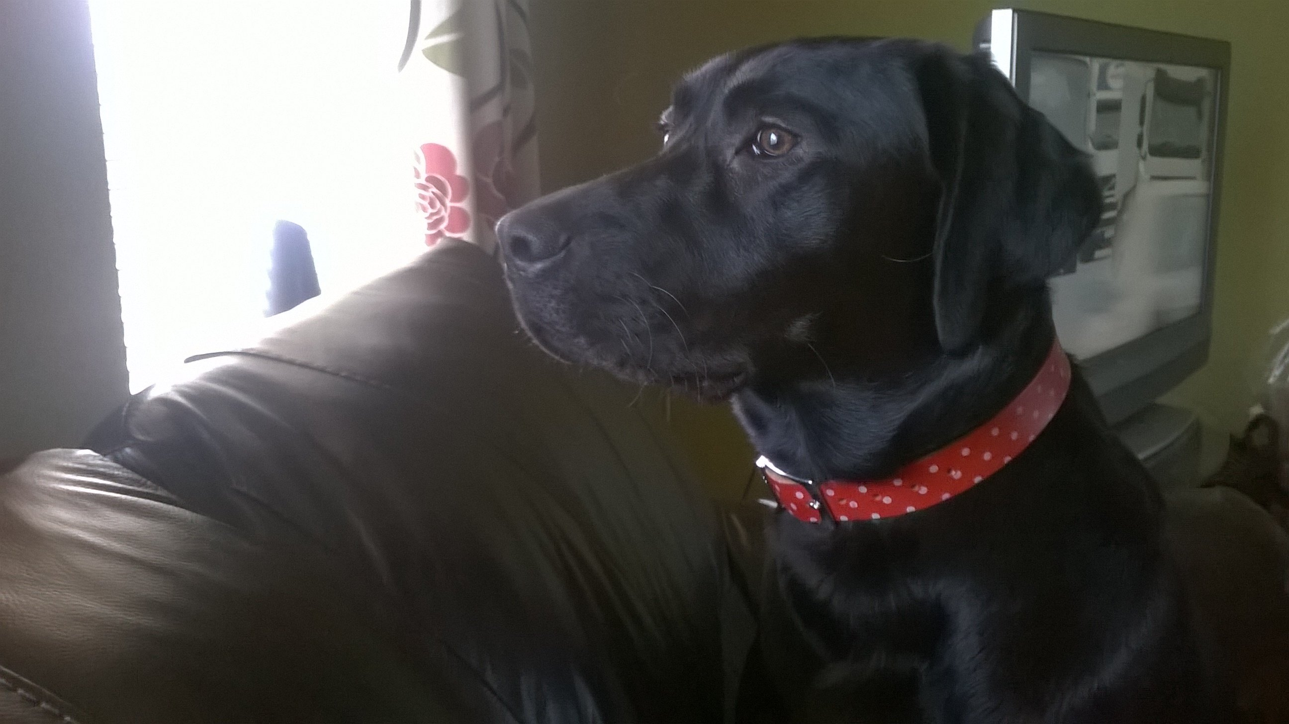 Nelson, a 1 year old black Labrador!