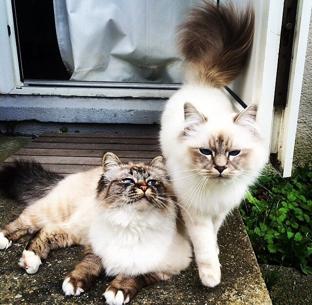 Meet Shira and Alana, two birman cats