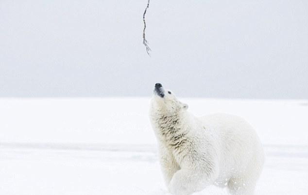 polar bear enjoy in snow animals zone