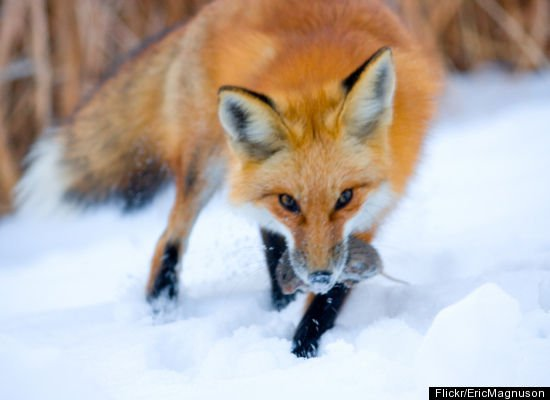 how animals finding food in the winter