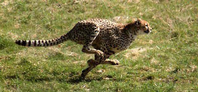 Cheetah - The fastet land animal