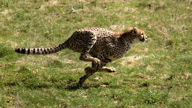 Cheetah - Fastest running champion Animal Olympics