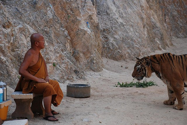 Tiger with a Buddhist Monk in Thailand