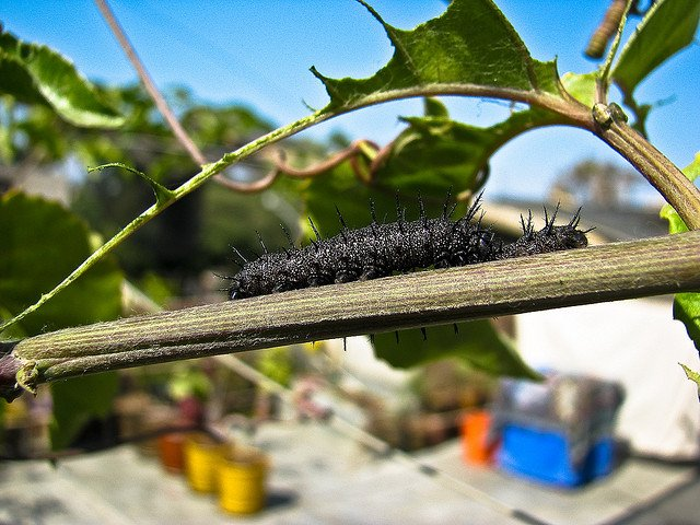 Black Caterpillar on leaf