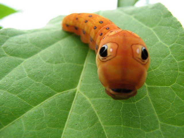Caterpillar with Eye Spots