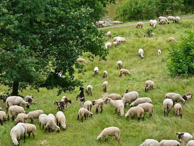 Sheep Population