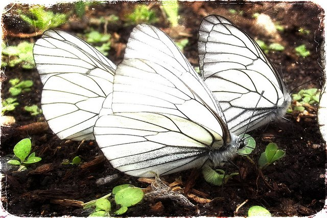 Picture of 3 White Butterflies