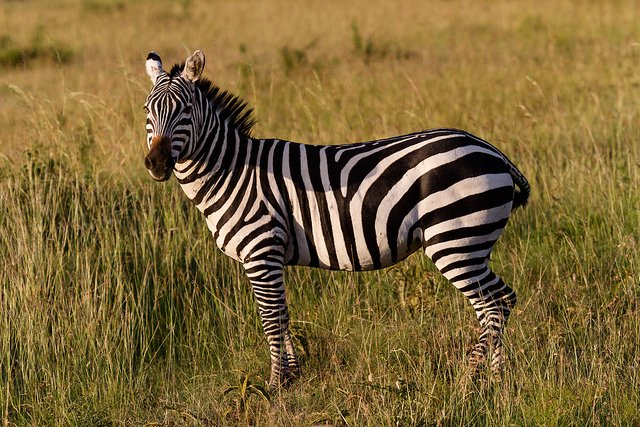 zebra black stripes