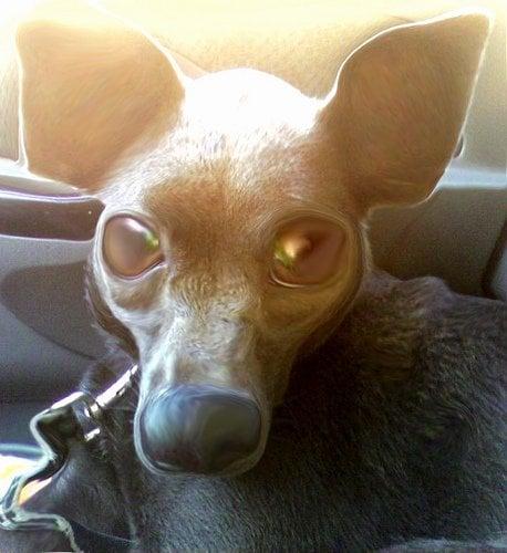 Big dog eyes