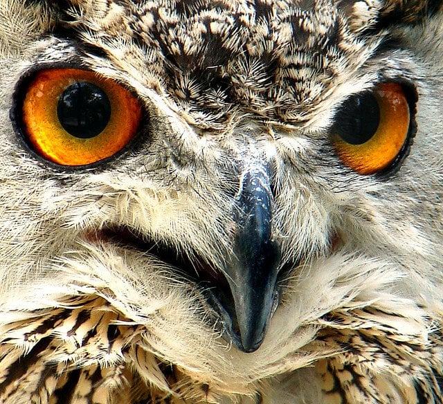 Frightening owl eyes