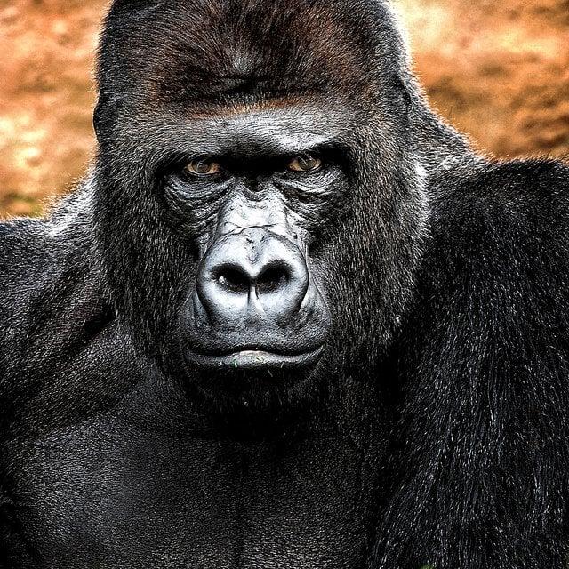 Scary animals Gorilla