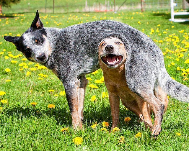 2 dogs playing in grass