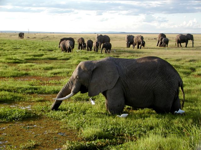 African Elephants Biggest herbivore