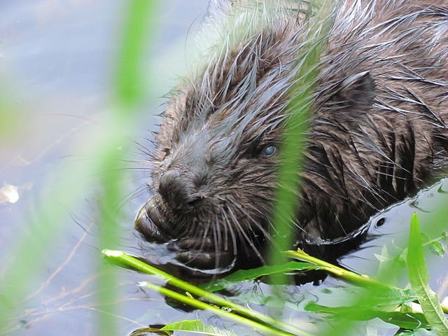 Beaver Canada National Animal