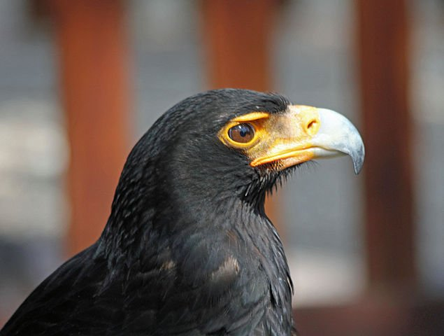 Black Eagle Germany National Animal