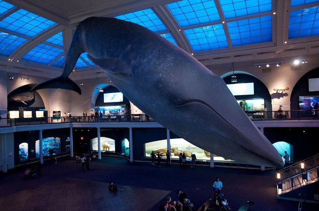 Blue whale - Biggest Animal on Earth