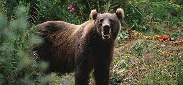 Brown Bear Russia National Animal