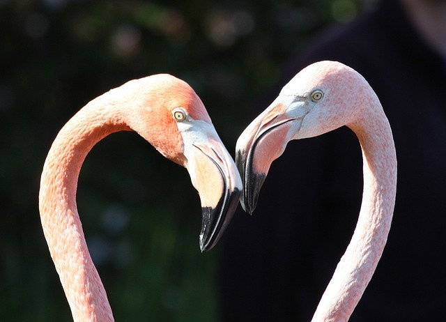 Flamingos animal Love