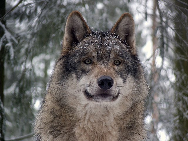 National Animal Turkey Grey wolf