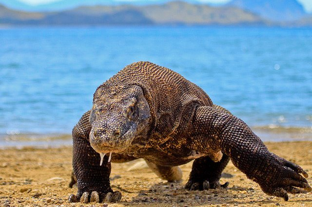 Komodo Dragon Indonesia National Animal
