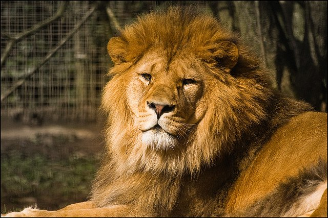 Lion Great Britan National Animal