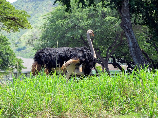 Ostrich Biggest Bird