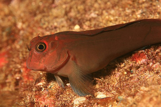 Panamic Fanged Blenny