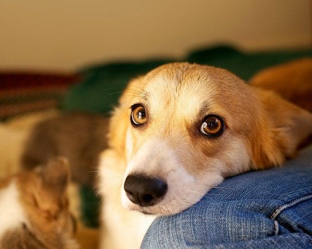 Puppy eyed dog