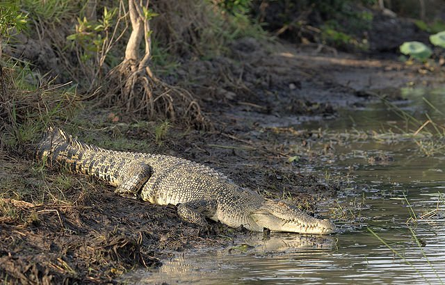 Saltwater Crocodile Largest Reptile