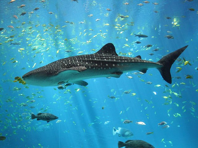 Whale Shark Biggest Fish