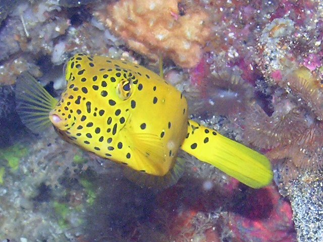 Yellow Boxfish deep sea
