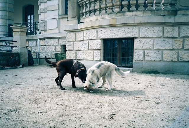 black and white dogs playing