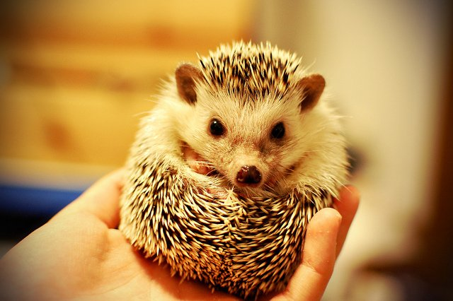 curled hedgehog in hand