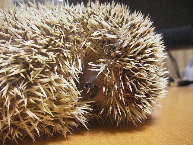 cute hedgehog curled up in a ball
