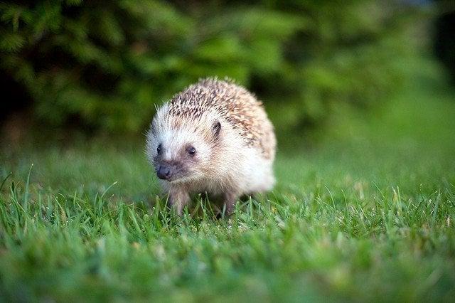 hedgehog in garden outdoors