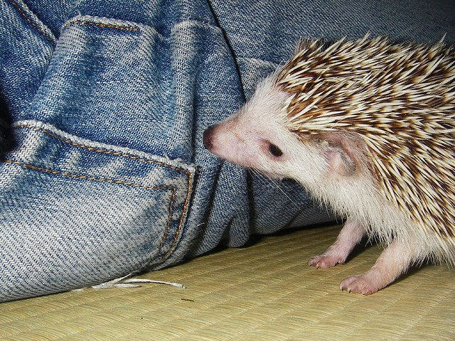 Adorable baby hedgehog loves denim