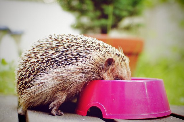 hedgehog eating food from pink bowl