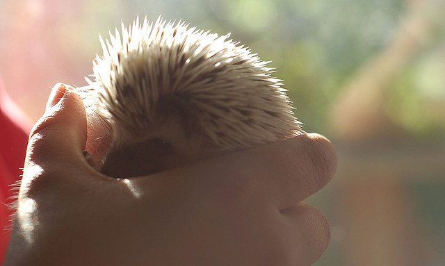 Pet hedgehog baby in hand