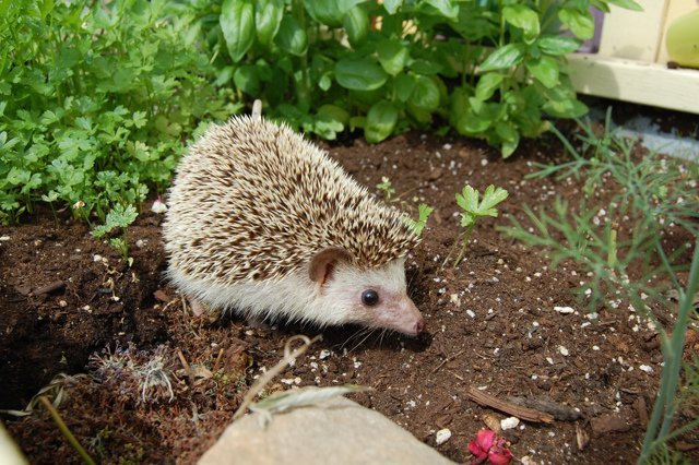 cute hedgehog herb exploration