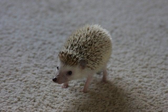 Pet hedgehog standing on carpet