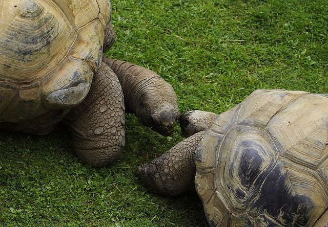 tortoise couple kiss old animal lovers