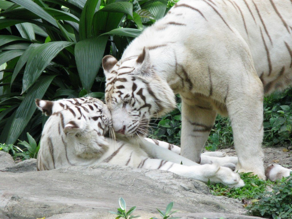 affectionate white tigers