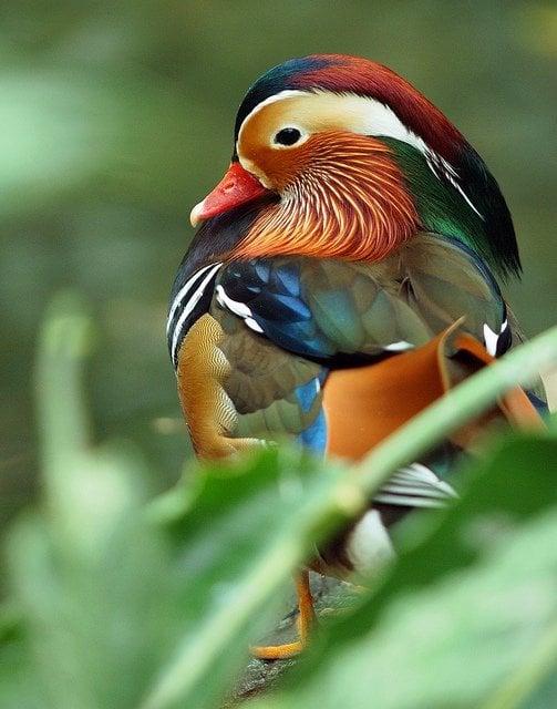Mandarin duck colorful bird